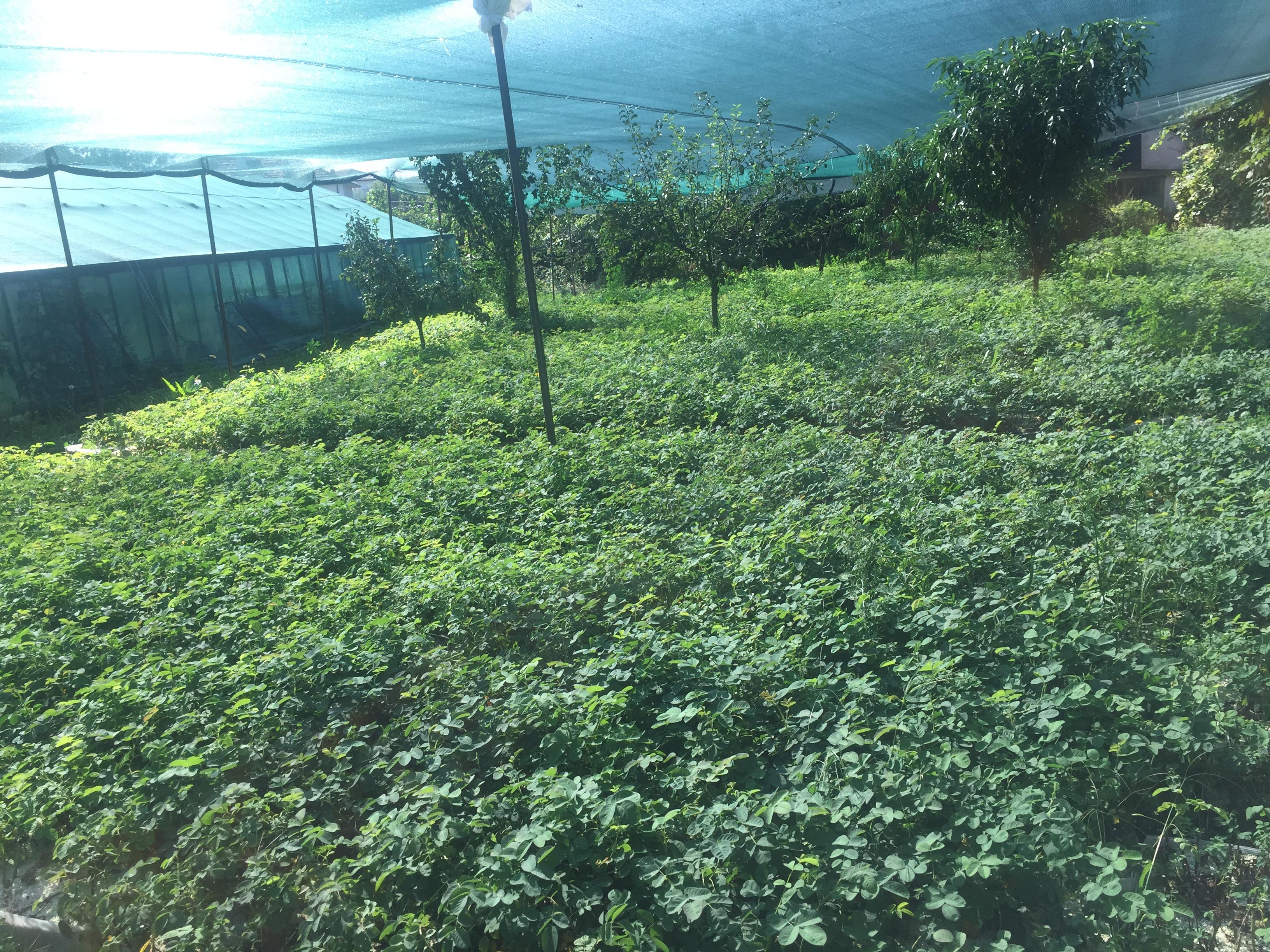 rozi-razsad-damascena (13)